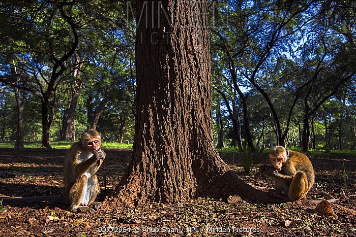 Toque macaques (Macaca sinica sinica) foraging at bas of tree,  Polonnaruwa, Sri Lanka February.