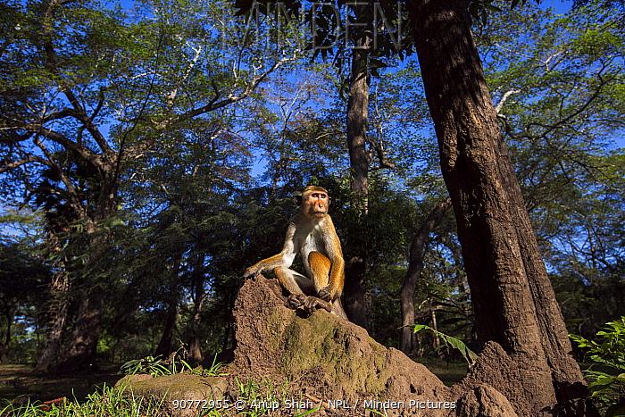 Toque macaque (Macaca sinica sinica) male sitting on a termite mound. Polonnaruwa, Sri Lanka February.