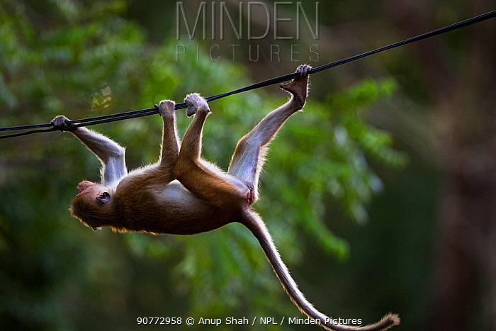 Toque macaque (Macaca sinica sinica) juvenile travelling upside down along a wire. Polonnaruwa, Sri Lanka February.