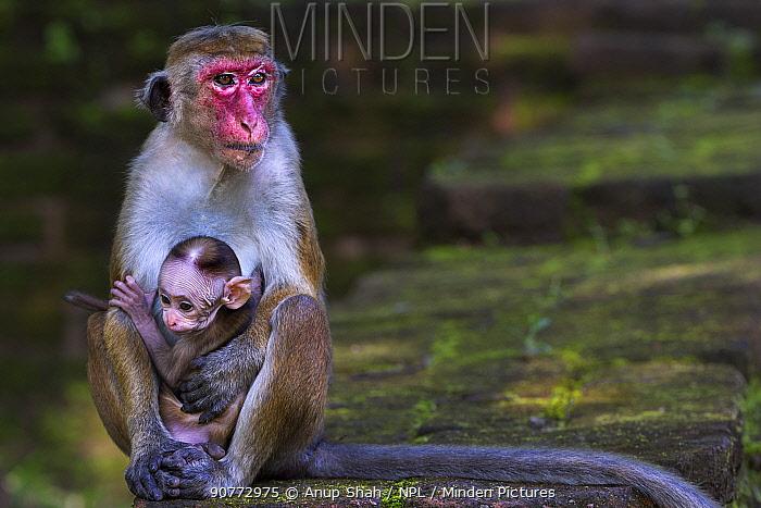 Toque macaque (Macaca sinica sinica) female and baby aged a few days. Polonnaruwa, Sri Lanka February.