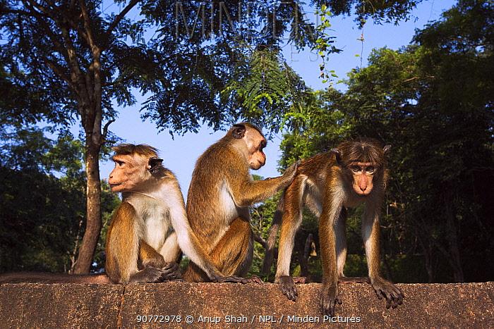 Toque macaques (Macaca sinica sinica) grooming. Polonnaruwa, Sri Lanka February.