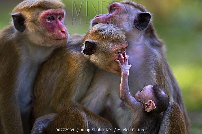 Toque macaque (Macaca sinica sinica) females sitting in a group. Polonnaruwa, Sri Lanka February.