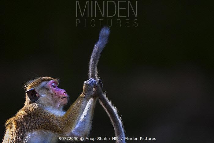 Toque macaque (Macaca sinica sinica) grooming tail. Polonnaruwa, Sri Lanka February.