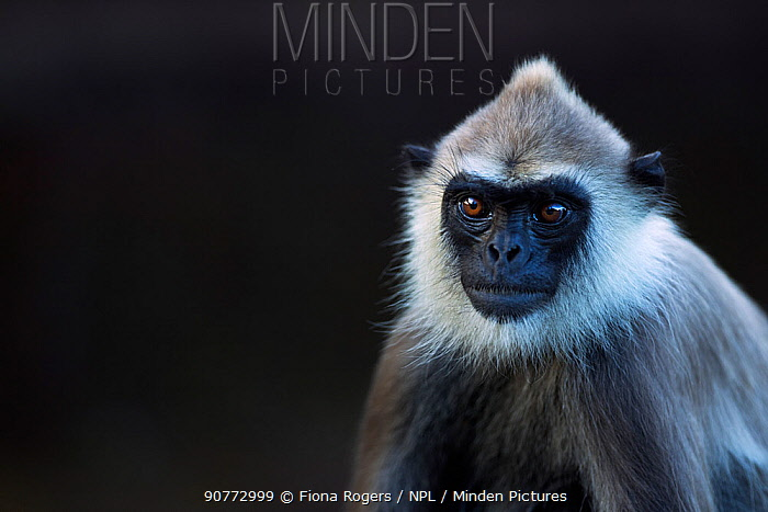 Tufted gray langur portrait (Semnopithecus priam thersites). Polonnaruwa, Sri Lanka February.
