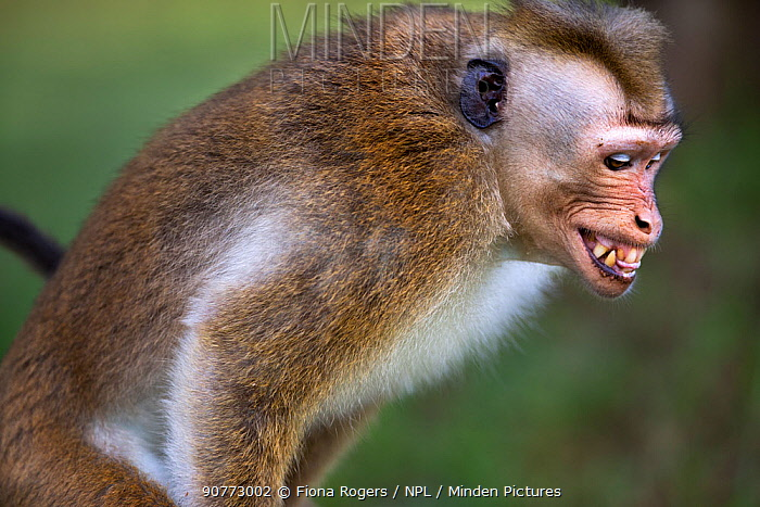Toque macaque (Macaca sinica sinica) male expression during mating. Polonnaruwa, Sri Lanka February.