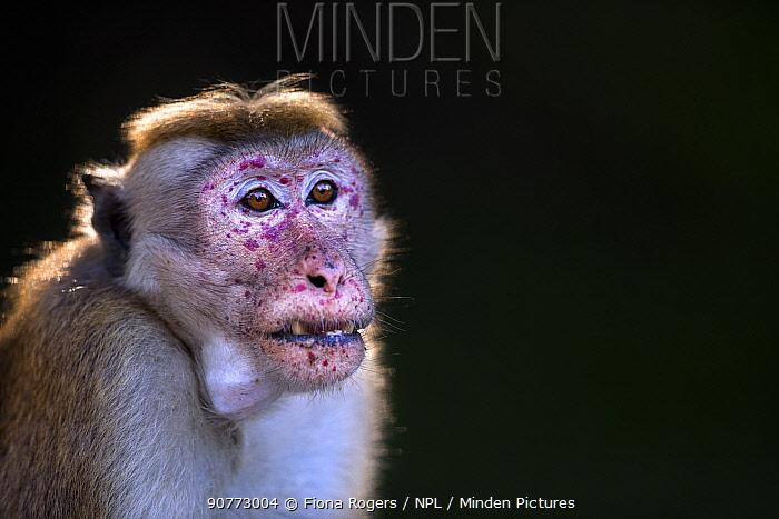 Toque macaque (Macaca sinica sinica) male portrait. Polonnaruwa, Sri Lanka January 2017.