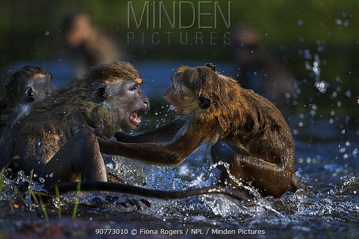 Toque macaques (Macaca sinica sinica) playing in water . Polonnaruwa, Sri Lanka February.
