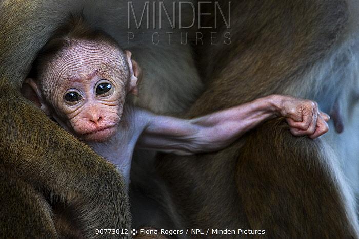 Toque macaque (Macaca sinica sinica) baby aged a few days. Polonnaruwa, Sri Lanka February.