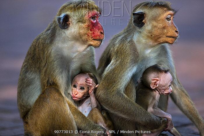 Toque macaque (Macaca sinica sinica) females with their babies aged a few days. Polonnaruwa, Sri Lanka February.
