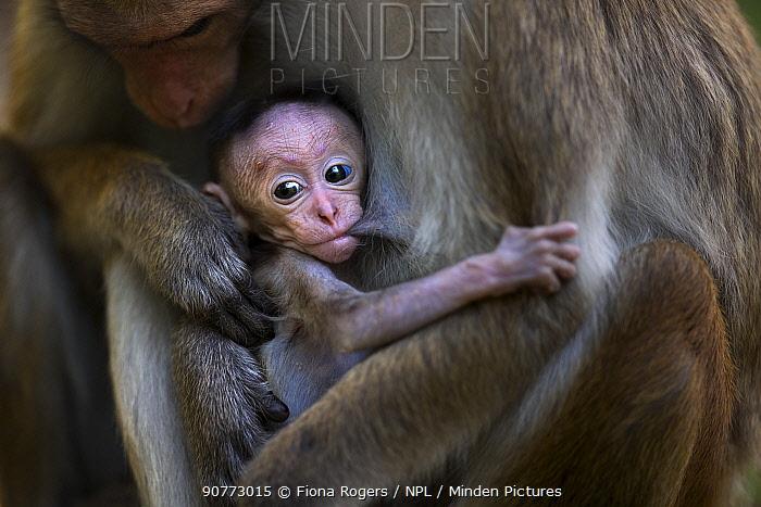 Toque macaque (Macaca sinica sinica) female baby a few days old suckling. Polonnaruwa, Sri Lanka February.