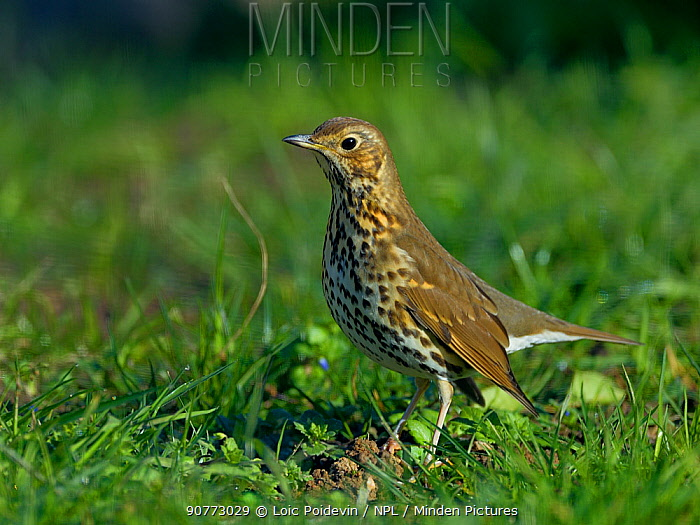 Song thrush (Turdus philomelos) standing in grass, Vendee, France, January.