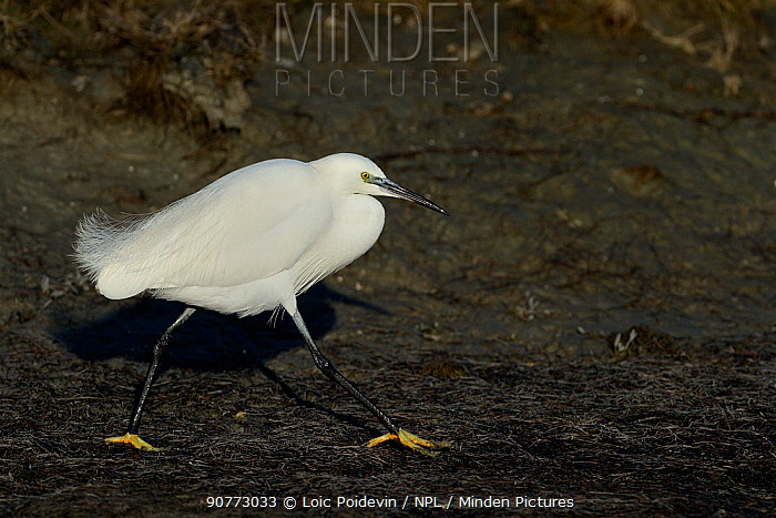 Little egret (Egretta garzetta) walking, Marais Breton, Vend�e, France, January.