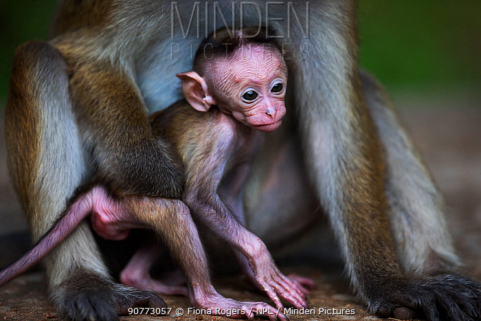 Toque macaque (Macaca sinica sinica) female baby a few days old with her mother. Polonnaruwa, Sri Lanka February.