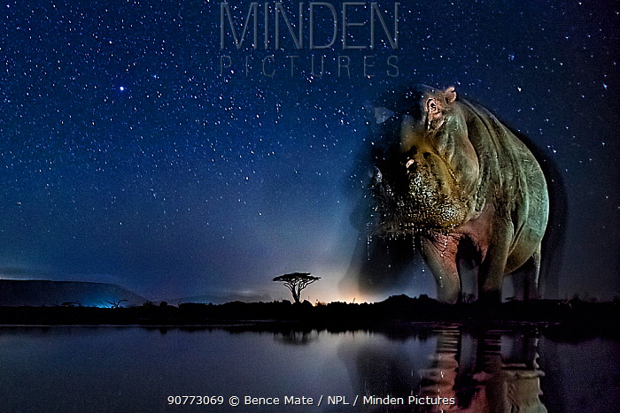 Hippopotamus (Hippopotamus amphibius) at waterhole at night, Mkuze, South Africa Third place in the Nature Portfolio category of the World Press Photo Awards 2017.