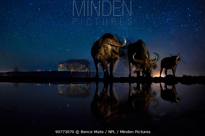 African buffalo (Syncerus caffer)  at waterhole at night, Mkuze, South Africa Third place in the Nature Portfolio category of the World Press Photo Awards 2017.