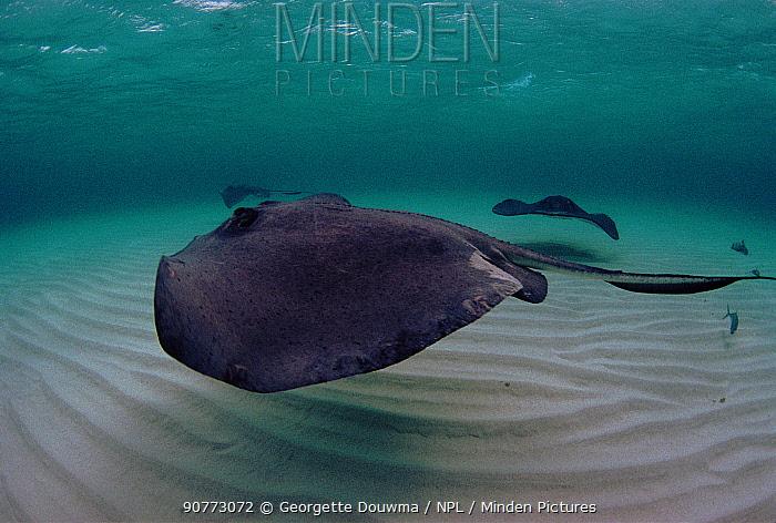 Southern stingray (Hypanus americanus) in shallows. Cayman Islands, Carribean