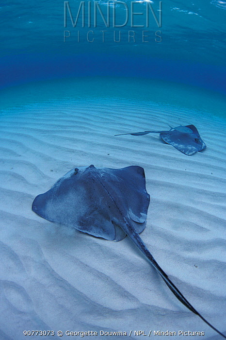 Southern stingrays in shallows (Hypanus americanus) Cayman