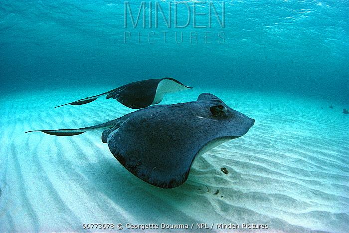 Two Southern stingrays {Hypanus americanus} Cayman Islands, Atlantic Ocean