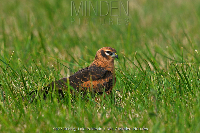 Montagu's harrier (Circus pygargus) on ground hunting in Vendeen Marsh, West France, July