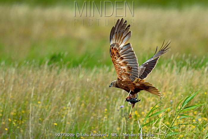Marsh harrier (Circus aeruginosus) in flight with its prey, most likely a rat, in claws, Vendeen Marsh, West France, July