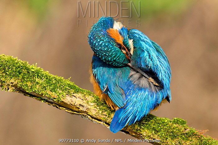 Kingfisher (Alcedo atthis) male preening back with muddy bill, Hertfordshire, England, UK, March.