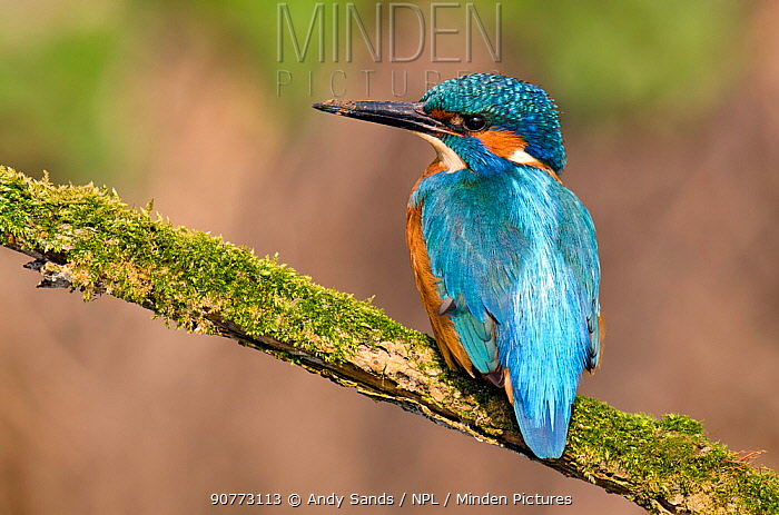 Kingfisher (Alcedo atthis) male perched on mossy branch with muddy bill, Hertfordshire, England, UK, March.