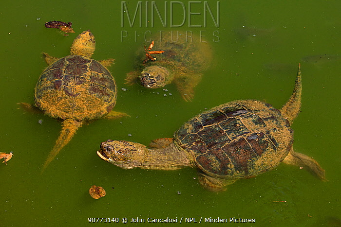 Snapping turtles (Chelydra serpentina) at water surface,  Maryland, USA, June
