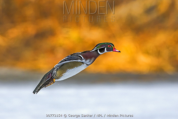 Wood Duck (Aix sponsa) male in breeding plumage landing at sunset on a snow-covered pond in early April. Acadia National Park, Maine, USA.