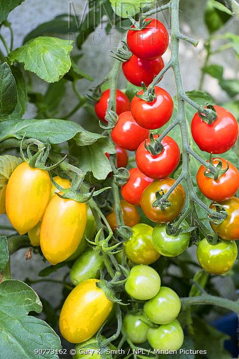 Tomatoes (Solanum lycopersicum)  'Suncherry Smile', and 'Blush Tiger'.