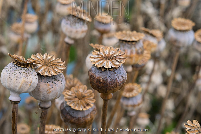 Opium poppy (Papaver somniferum)  dried seedheads.