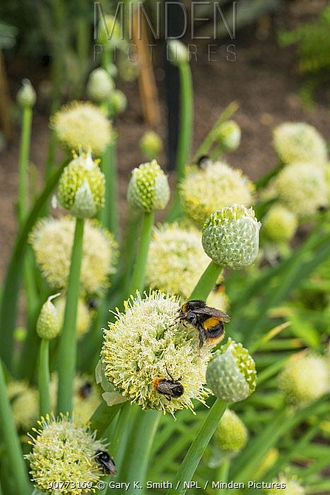 Bumblebees (Bombus sp) nectaring on Welsh Onion (Allium fistulosum) Norfolk, England, UK. June.
