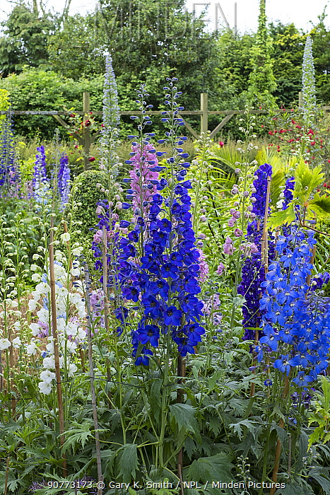 Garden Delphiniums 'Pacific Hybrids' supported by canes. England, UK, June.