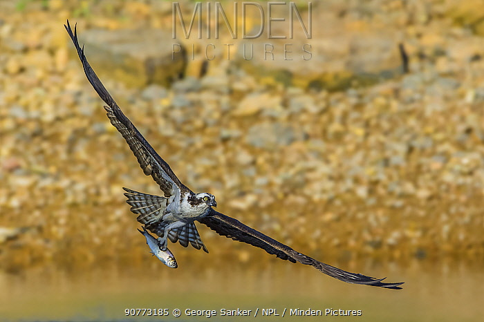 Osprey (Pandion haliaetus) snatches Alewife (Alosa pseudoharengus) from the Atlantic Ocean. Acadia National Park, Maine, USA.