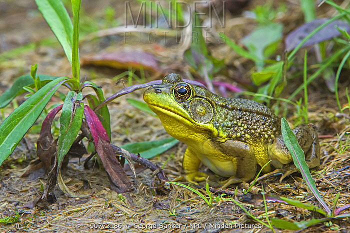 Green Frog (Lithobates clamitans) at the edge of a beaver pond. Acadia National Park, Maine, USA.