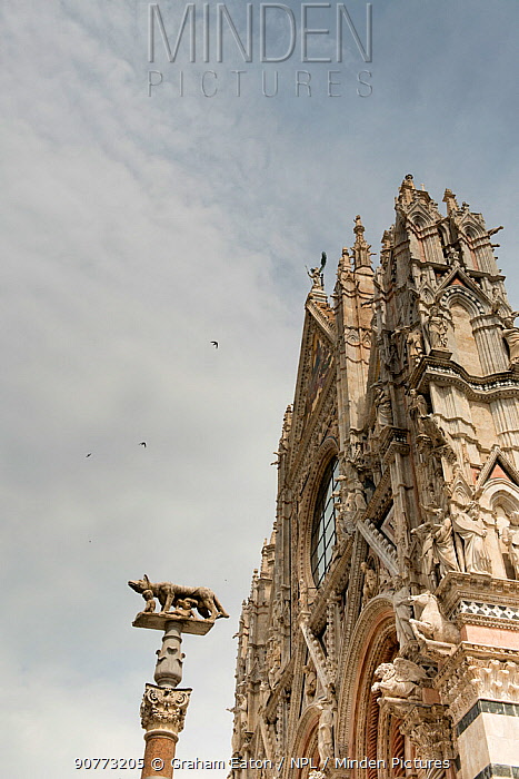 Swifts (Apus apus) flying over the Duomo, Siena UNESCO World Heritage Site, Italy. June.