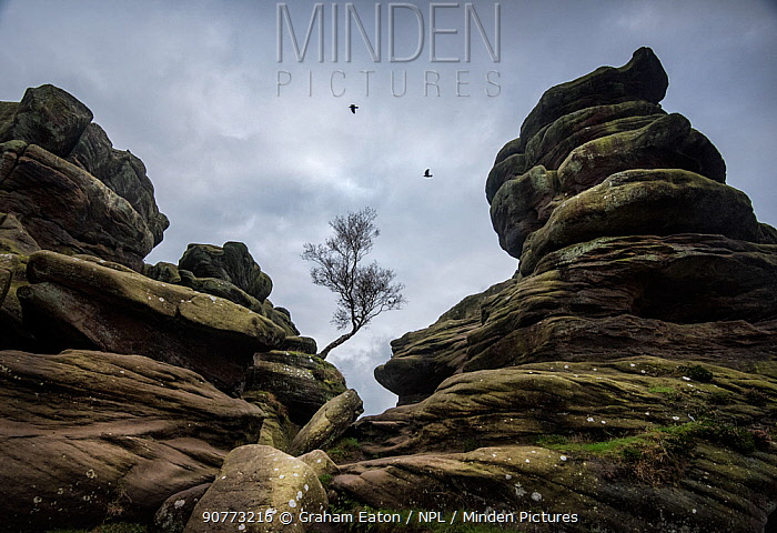 Tree and rock formations at Brimham Rocks, Harrogate, Yorkshire. Comprised of Carboniferous age, Millstone Grit, these strange rock formations form by variable erosion of soft and hard layers in the rock. October 2016