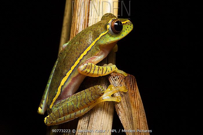 Boulenger's Tree Frog (Rhacophorus lateralis) portrait, Karnatka, India.