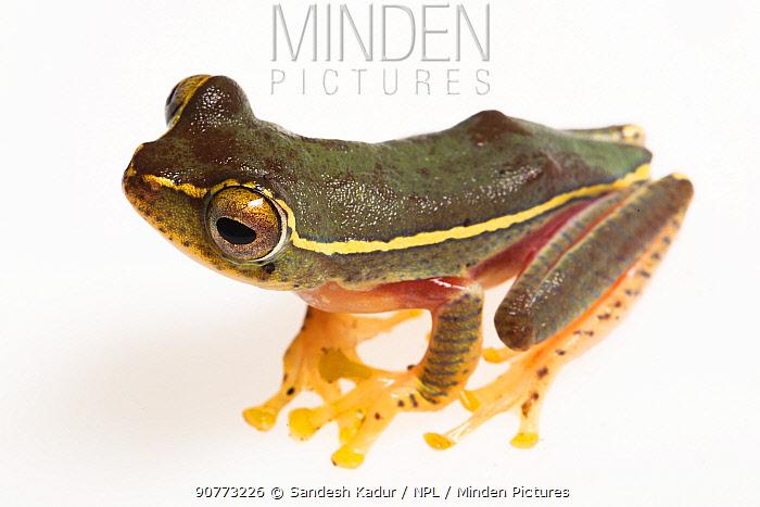 Boulenger's Tree Frog (Rhacophorus lateralis) on white background,  Karnatka, India.