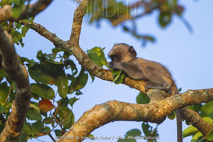 Tufted grey langur (Semnopithecus priam) baby in tree, Nilgiri Biosphere Reserve, Karnataka, India.