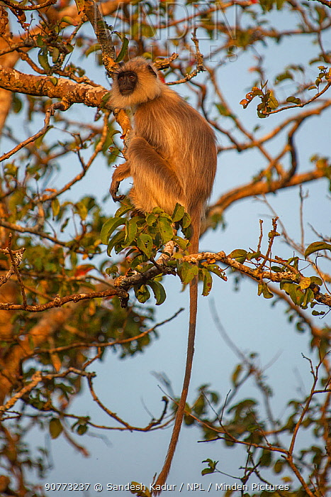 Tufted grey langur (Semnopithecus priam)  Nilgiri Biosphere Reserve, Karnataka, India.