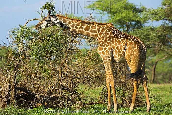 Giraffe (Giraffa camelopardalis) Serengeti, Tanzania.