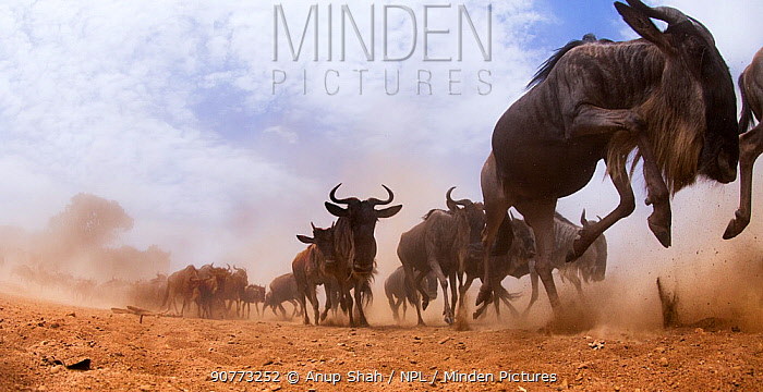 Eastern White-bearded Wildebeest (Connochaetes taurinus) herd on the move - taken with a remote camera controlled by the photographer. Maasai Mara National Reserve, Kenya. July 2013.