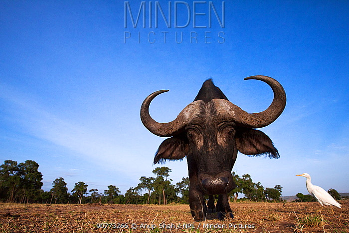 Cape buffalo (Syncerus caffer) male approaching remote camera with curiosity. Taken with a remote camera controlled by the photographer. Maasai Mara National Reserve, Kenya. August,