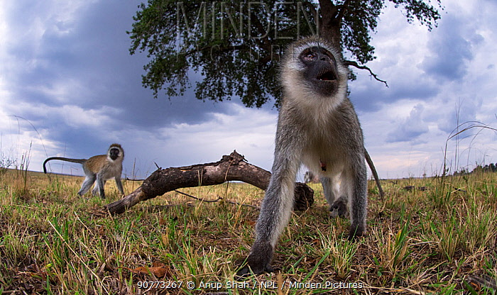 Vervet monkey (Cercopithecus aethiops) watching with curiosity. Taken with a remote camera controlled by the photographer. Maasai Mara National Reserve, Kenya. August.