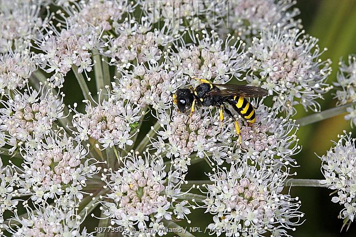 Big-headed digger wasp (Ectemnius cephalotes) on umbellifer flower ar the edge of woodland, Cheshire, UK, August.