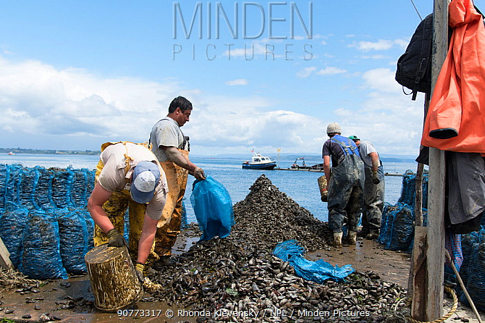 Men harvesting Mussels, Quinchao Island, Chiloe, Chile. January 2016.