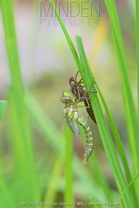 Hawker dragonfly (Aeshna sp) emerging from larval case. Surrey, UK. Sequence 4 of 5 June