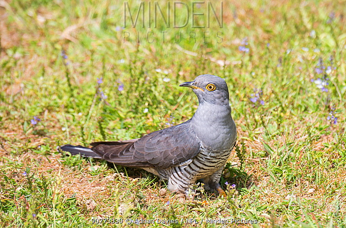 Cuckoo (Cuculus canorus) male on ground. Surrey, UK.  June