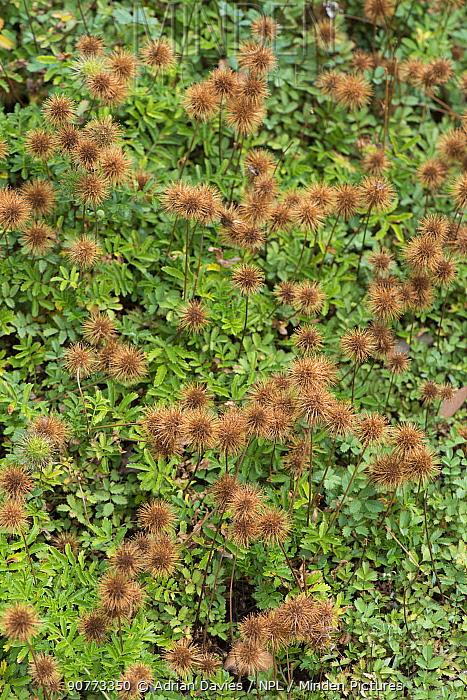 Pirri pirri bur (Acaena novaezelandiae)  UK. Invasive species native to Australia and New Zealand.