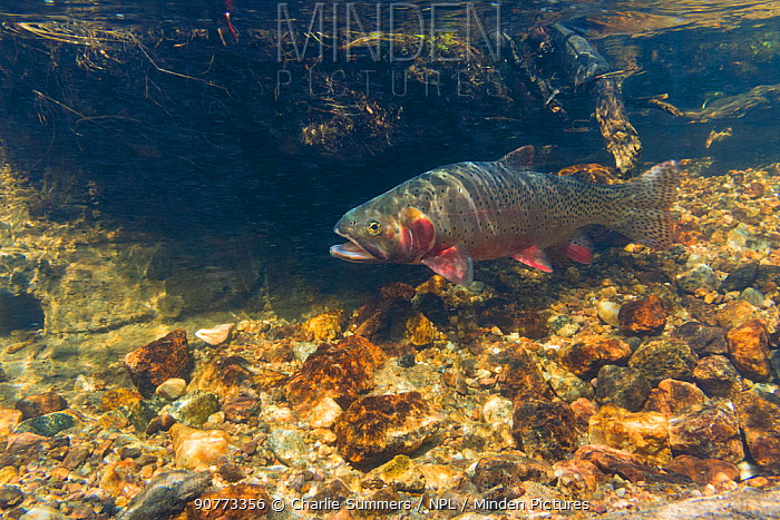 Greenback Cutthroat Trout (Oncorhynchus clarkii stomias) in  spawning stream, North Park, Neota Wilderness area, Colorado, USA, July.